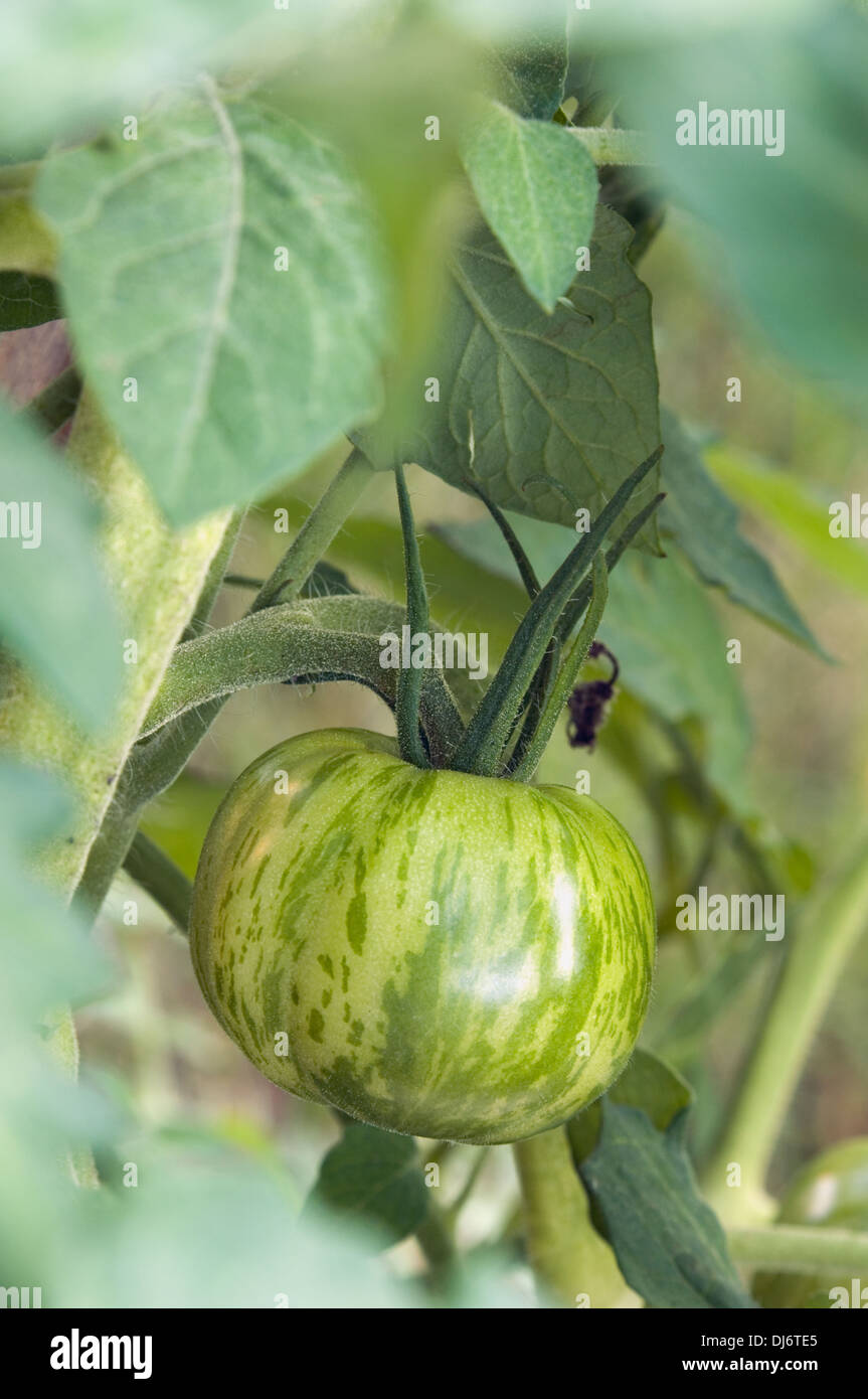 Cherokee Green Heirloom Tomato Growing on Vine in Indiana - Stock Image