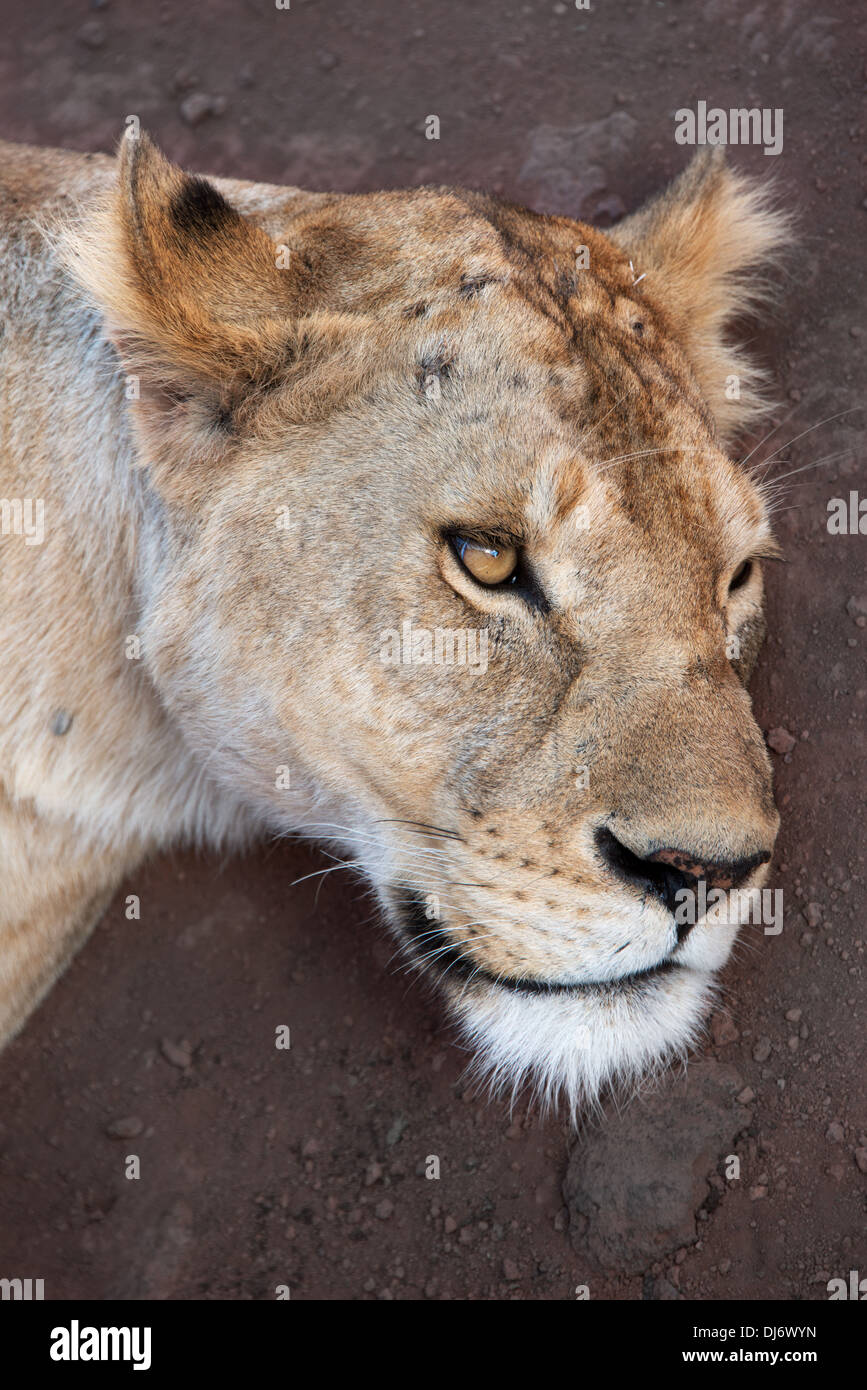 Close up of young female lion portrait Stock Photo