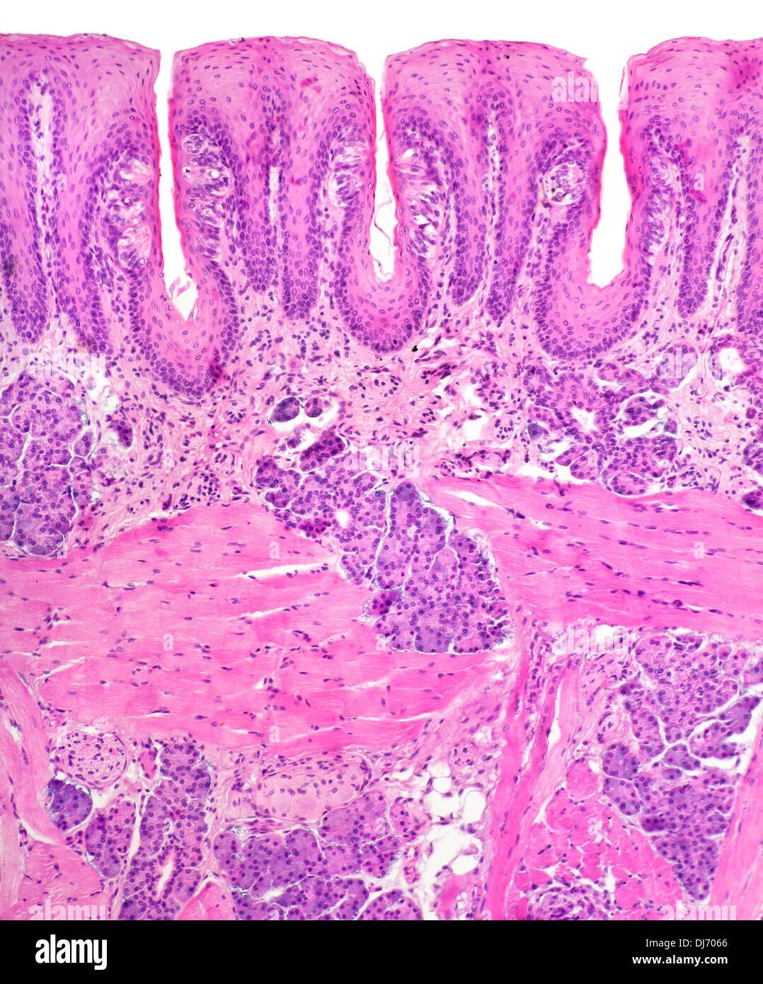 Papillae Taste Buds Human Tongue Bright Field Photomicrograph