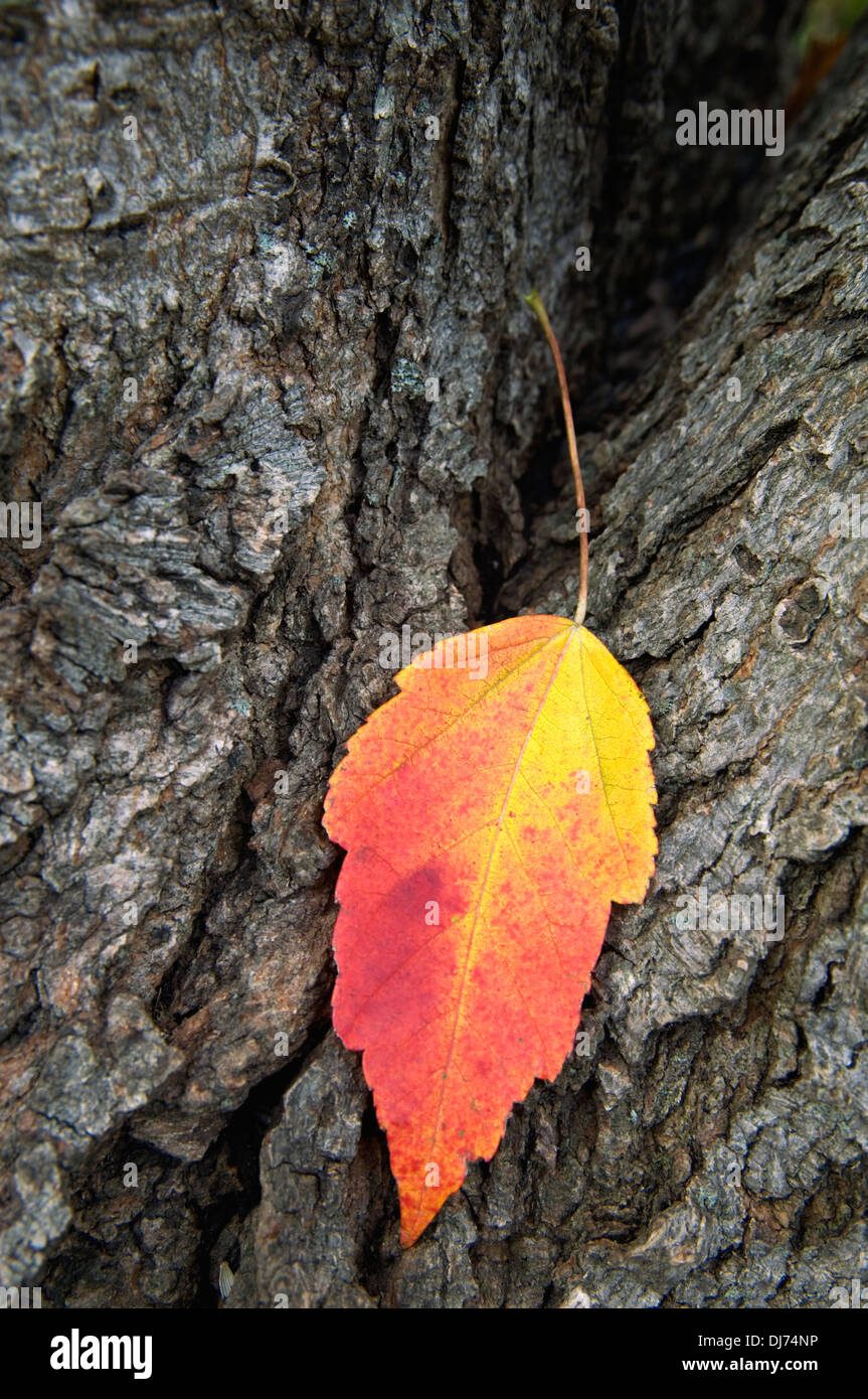 Red Maple Leaf on Tree Trunk with Autumn Color - Stock Image