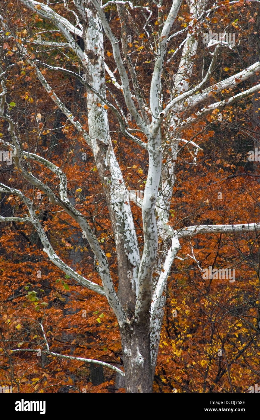American Sycamore Tree Trunk and Branches with Autumn Color Behind in Clark State Forest in Clark County, Indiana - Stock Image
