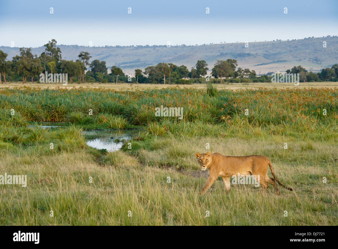 Female lion walking in Musiara Marsh, Masai Mara, Kenya - Stock Image