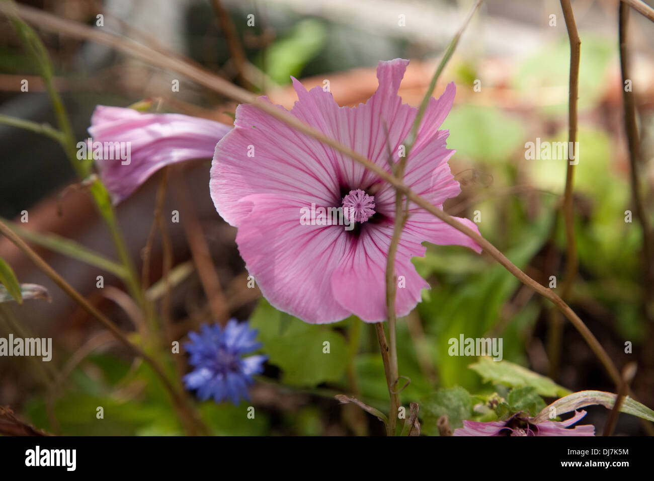 cut out mallow - Stock Image