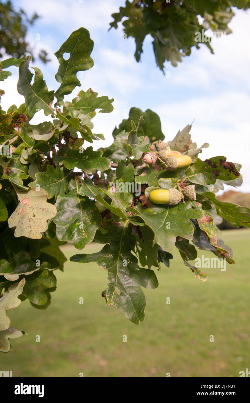 Acorns and leaves on a  traditional English Oak tree as summer turns to autumn in Tettenhall, Wolverhampton Stock Photo