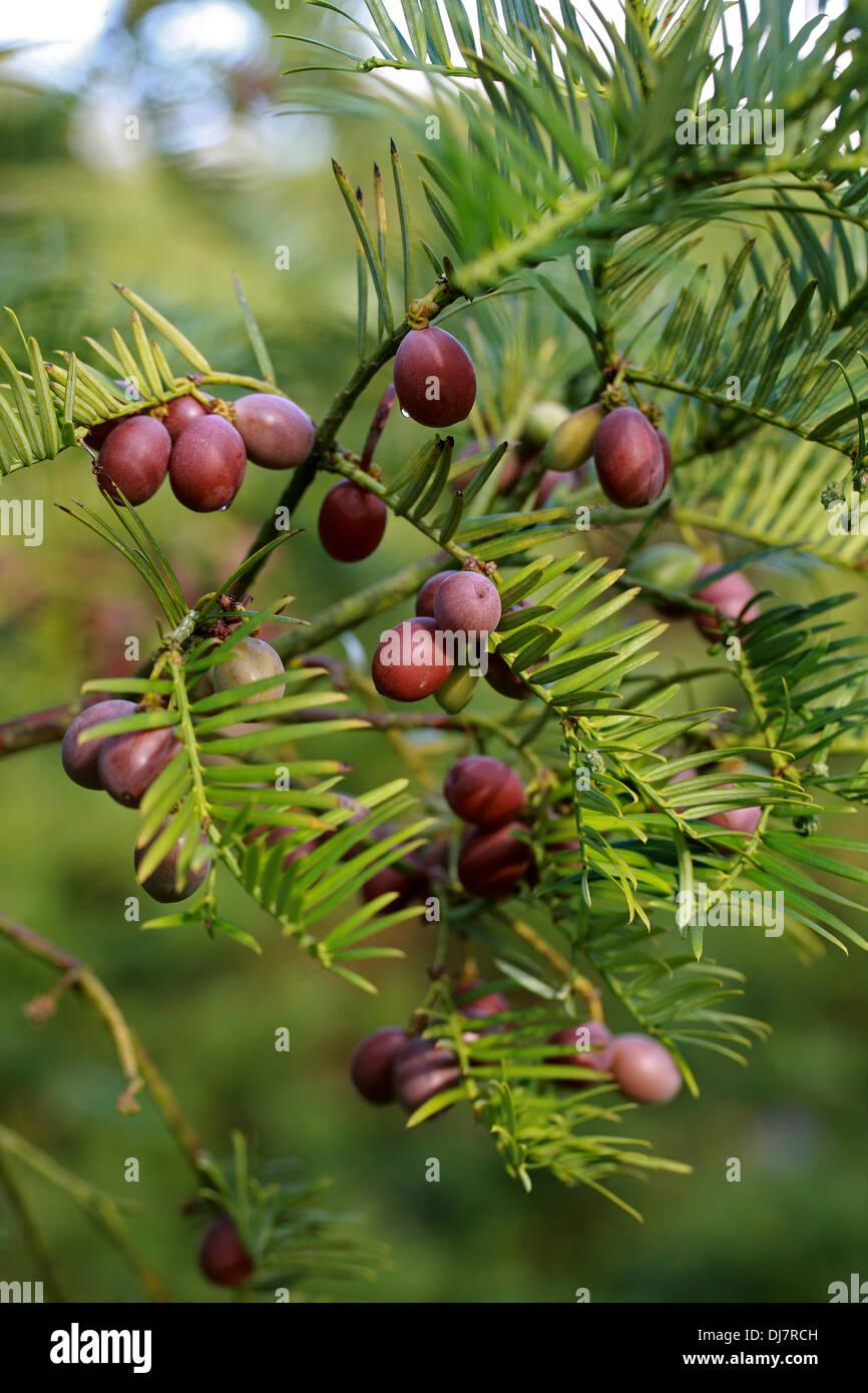Chinese Plum Yew, Cephalotaxus fortunei, Cephalotaxaceae. China, Burma. Aka Plum Yew, Chinese Cowtail Pine. - Stock Image