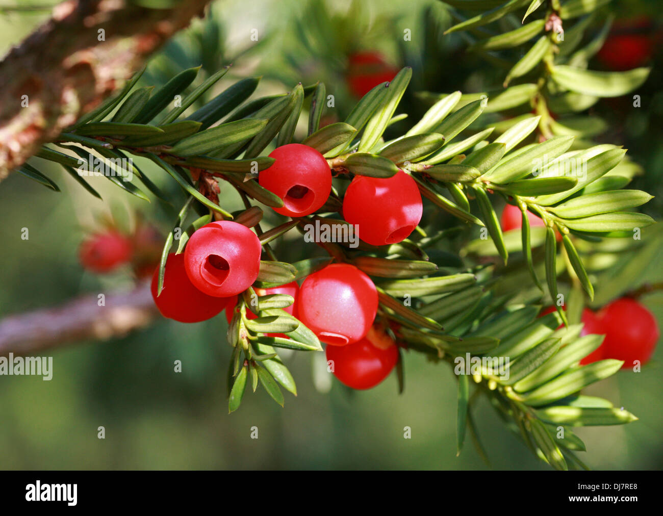 Japanese Yew or Spreading Yew, Taxus cuspidata 'Luteobaccata', Taxaceae. Native to Japan, Korea, northeast China and the extreme - Stock Image