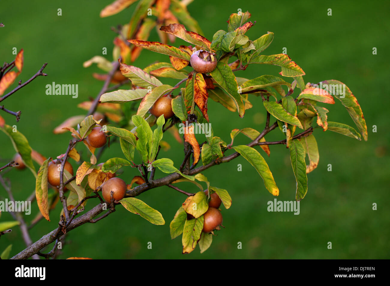 Common Medlar, Mespilus germanica, Rosaceae. Indigenous to southwest Asia and southeastern Europe. Stock Photo
