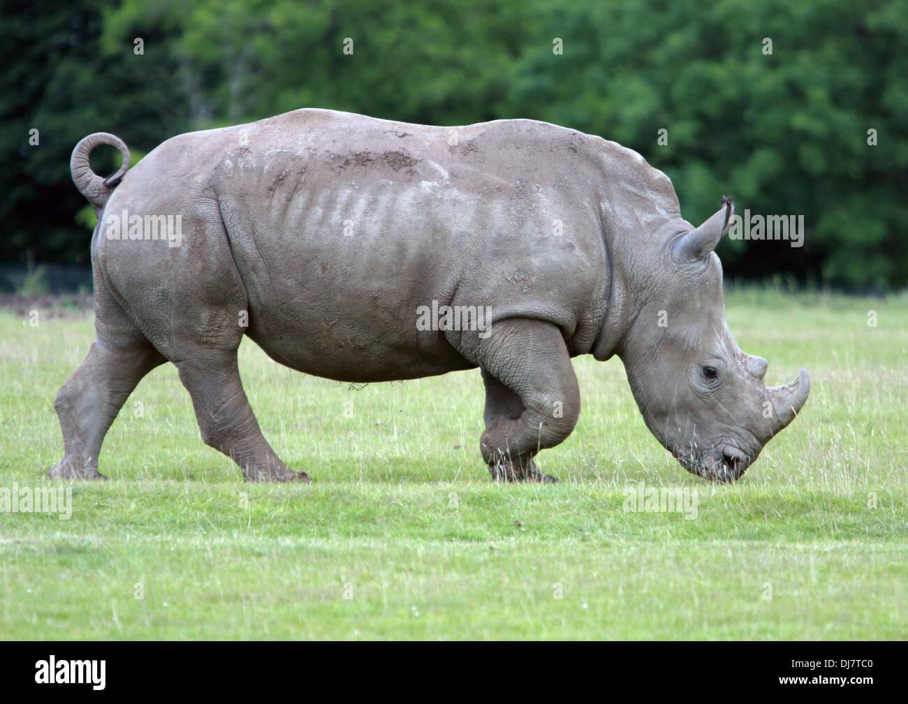 A Nepalese Rhino In Captivity - Stock Image