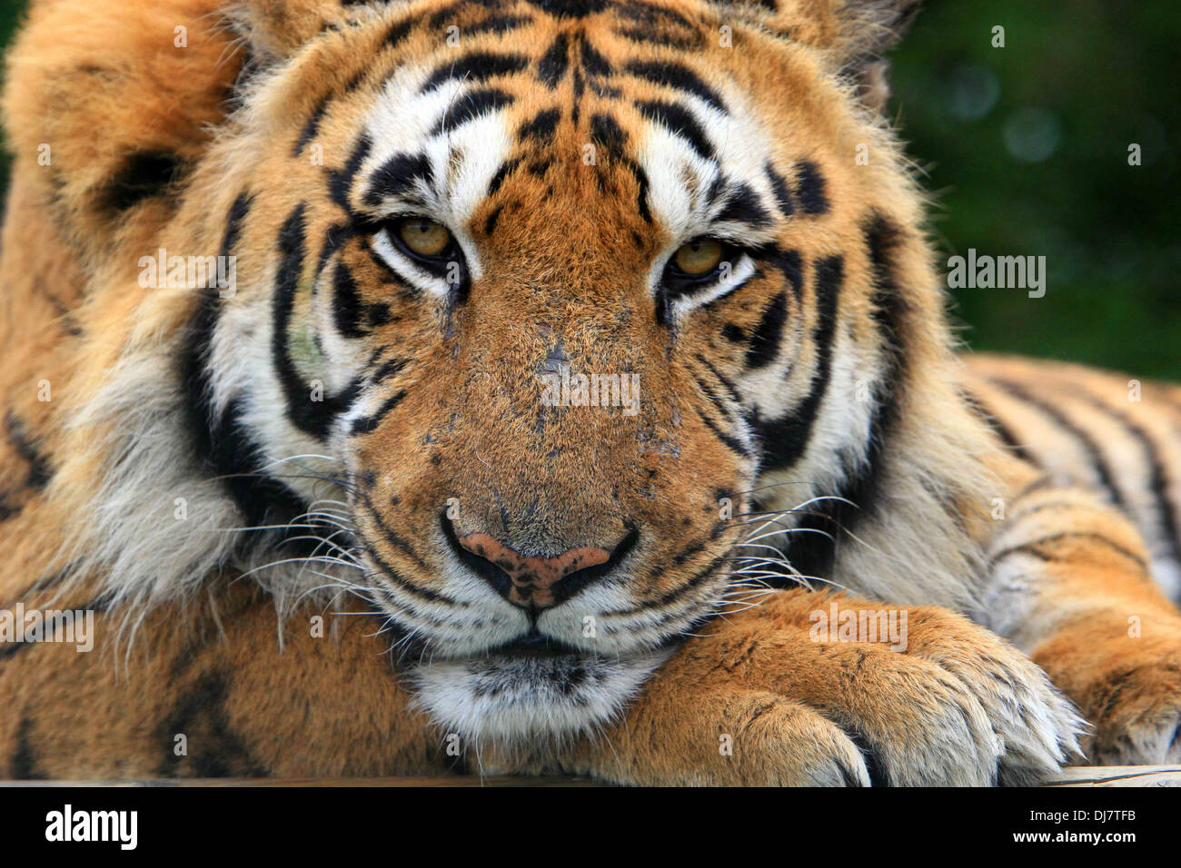 close up of tiger s face stock photo 62867823 alamy