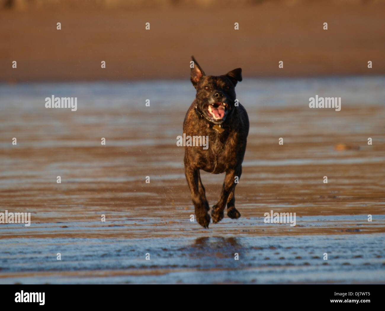 Brindle Staffordshire Bull Terrier running on the beach, Bude, Cornwall, UK - Stock Image