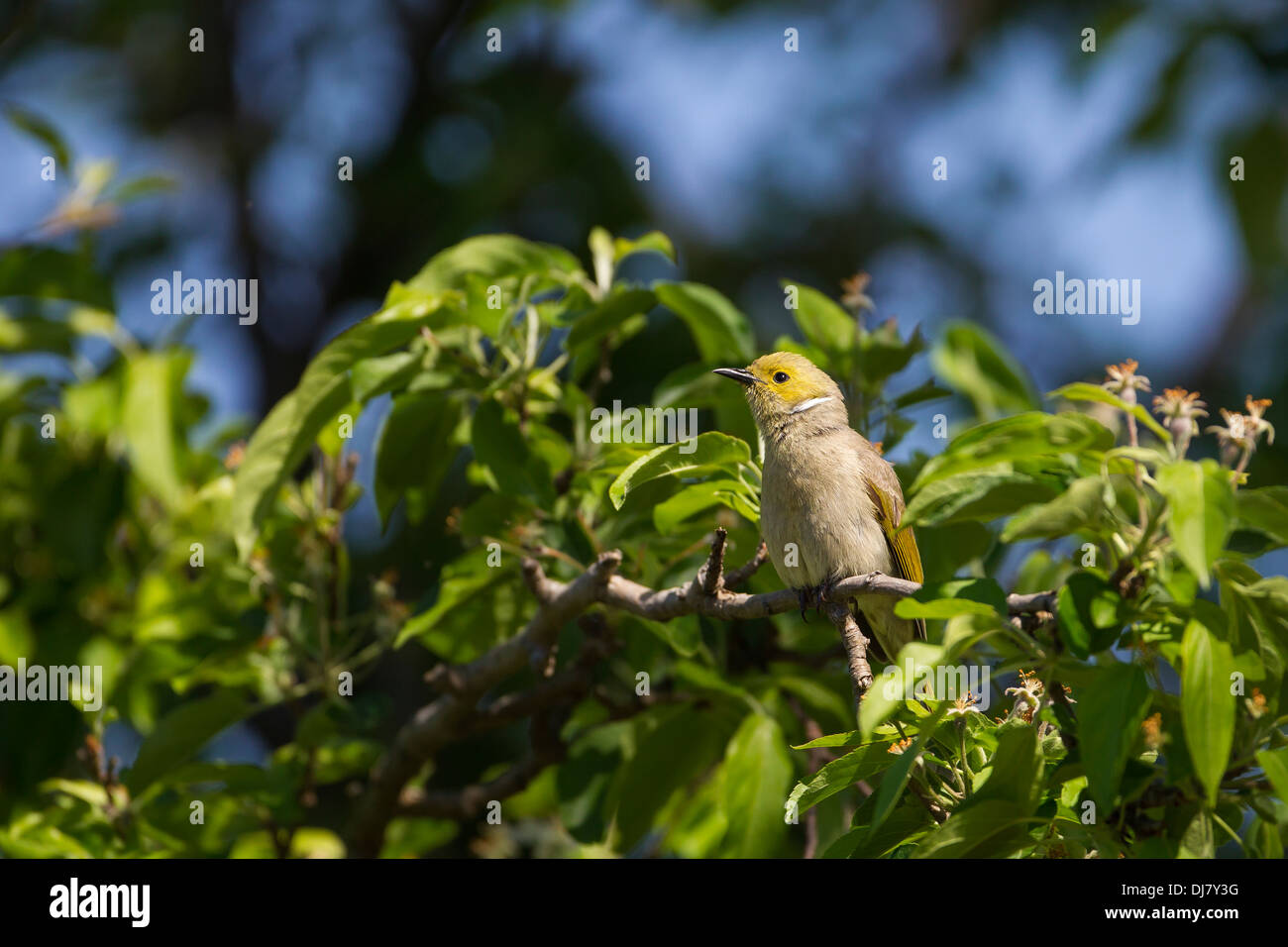 White plumed Honeyeater perched in a tree Stock Photo