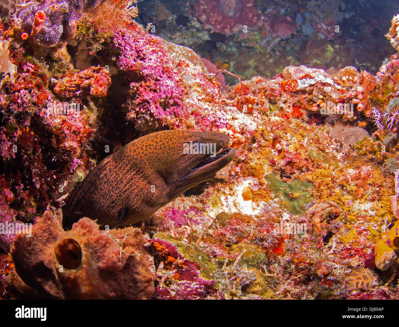 Giant moray eel on a colorful coral reef at Bunaken, Indonesia - Stock Image