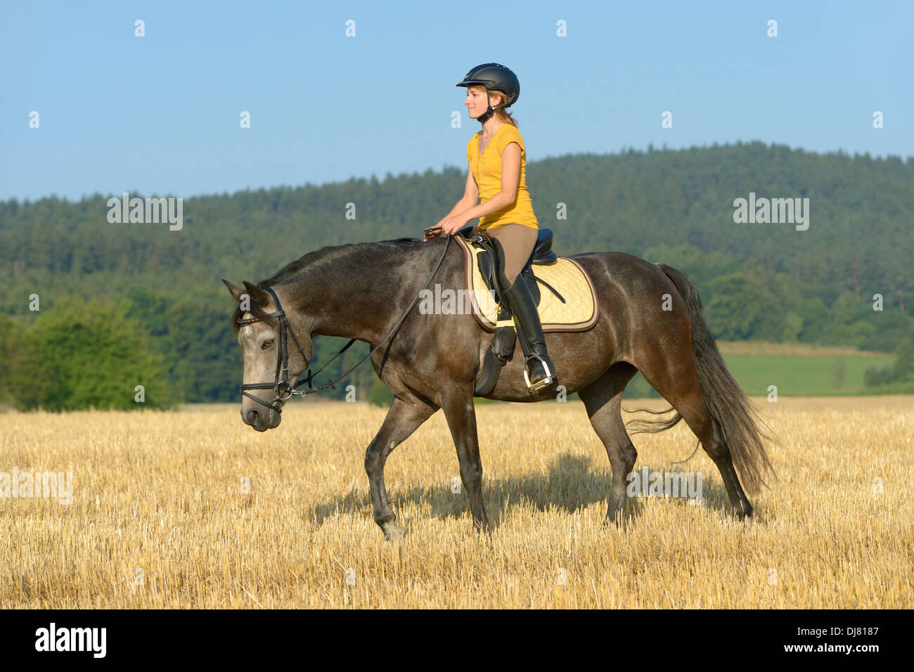 Young rider on back of a Connemara pony in a stubble field riding walk with long reins - Stock Image
