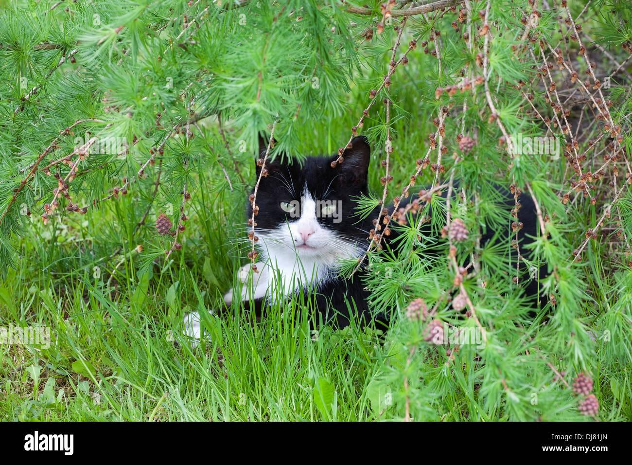cat breeds - Stock Image