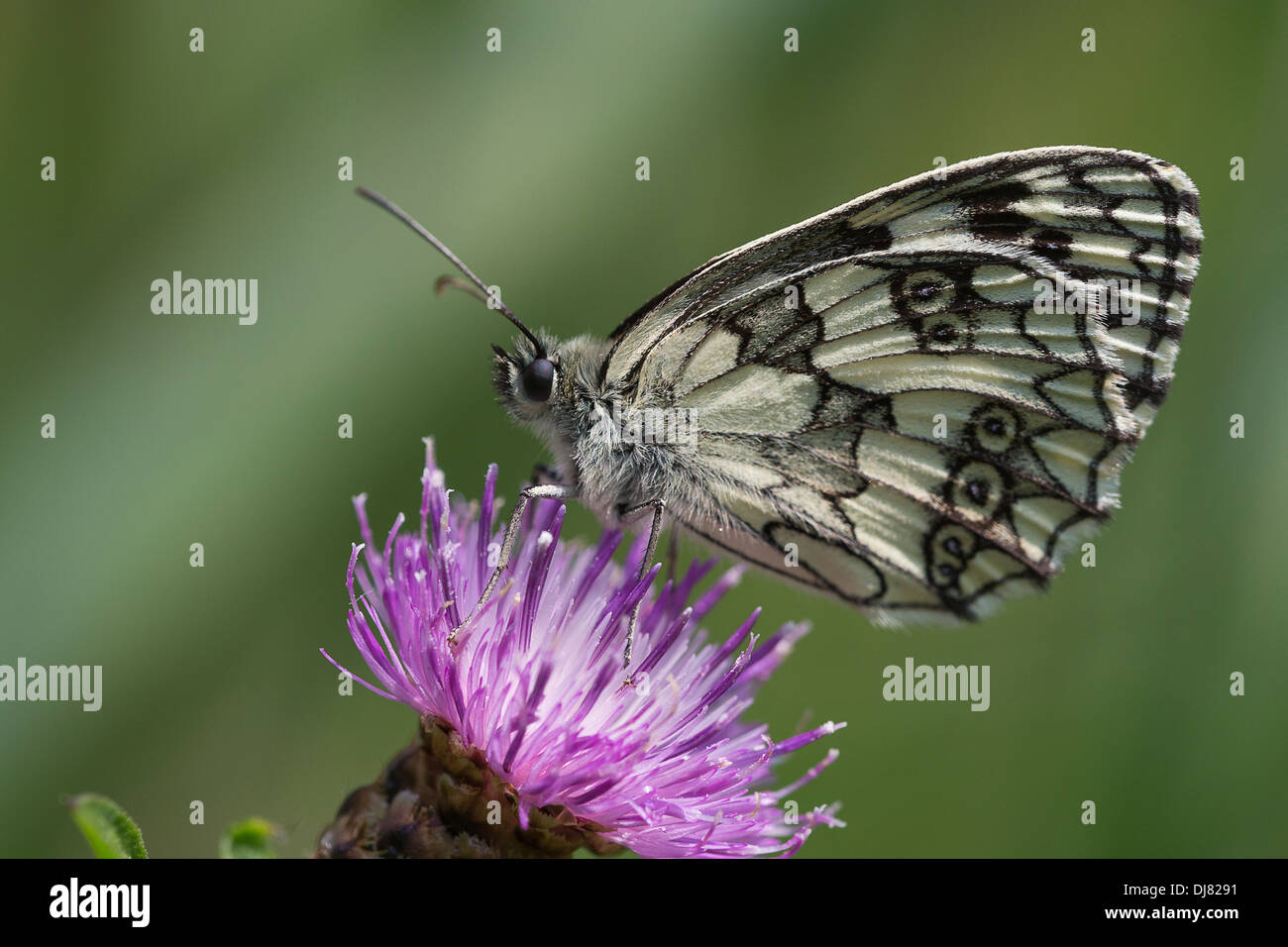 Marbled White (Melanargia galathea) feeding on knapweed - Stock Image