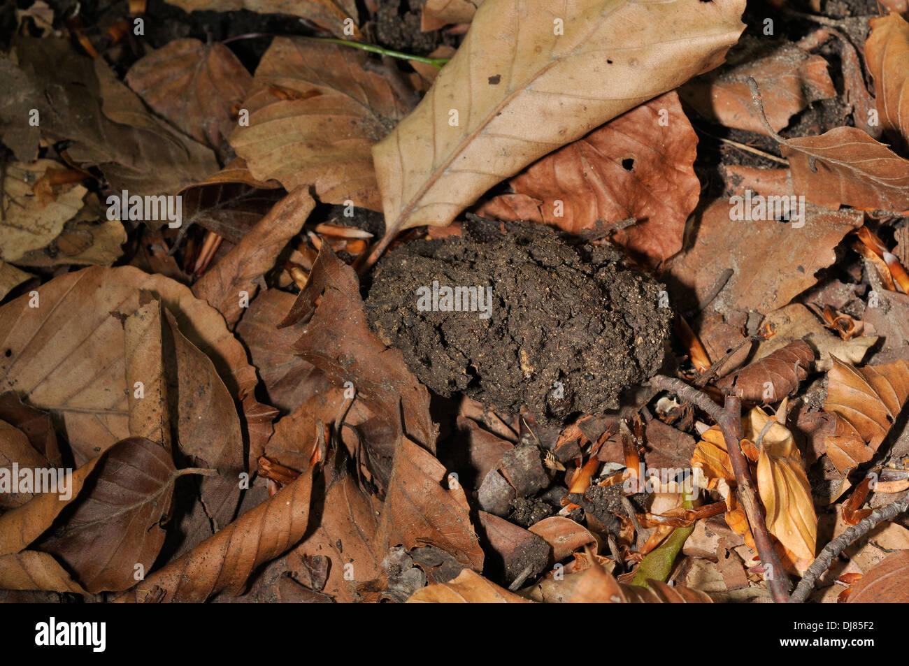 Excrements of Brown bear Ursus actor marsicanus, Abruzzo National Park, Pescasseroli, Abruzzo, Italy - Stock Image