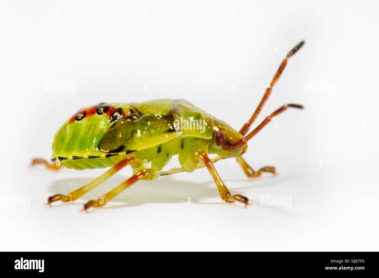 The fifth and final instar nymph of a birch shieldbug (Elasmostethus interstinctus). A studio portrait shot against Stock Photo