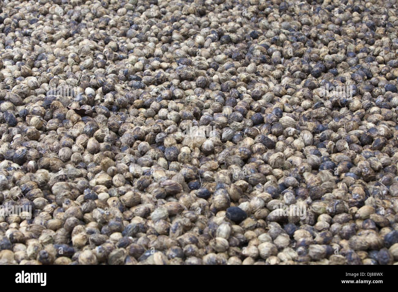 Betel Nut or Supari, Andaman Islands, India - Stock Image