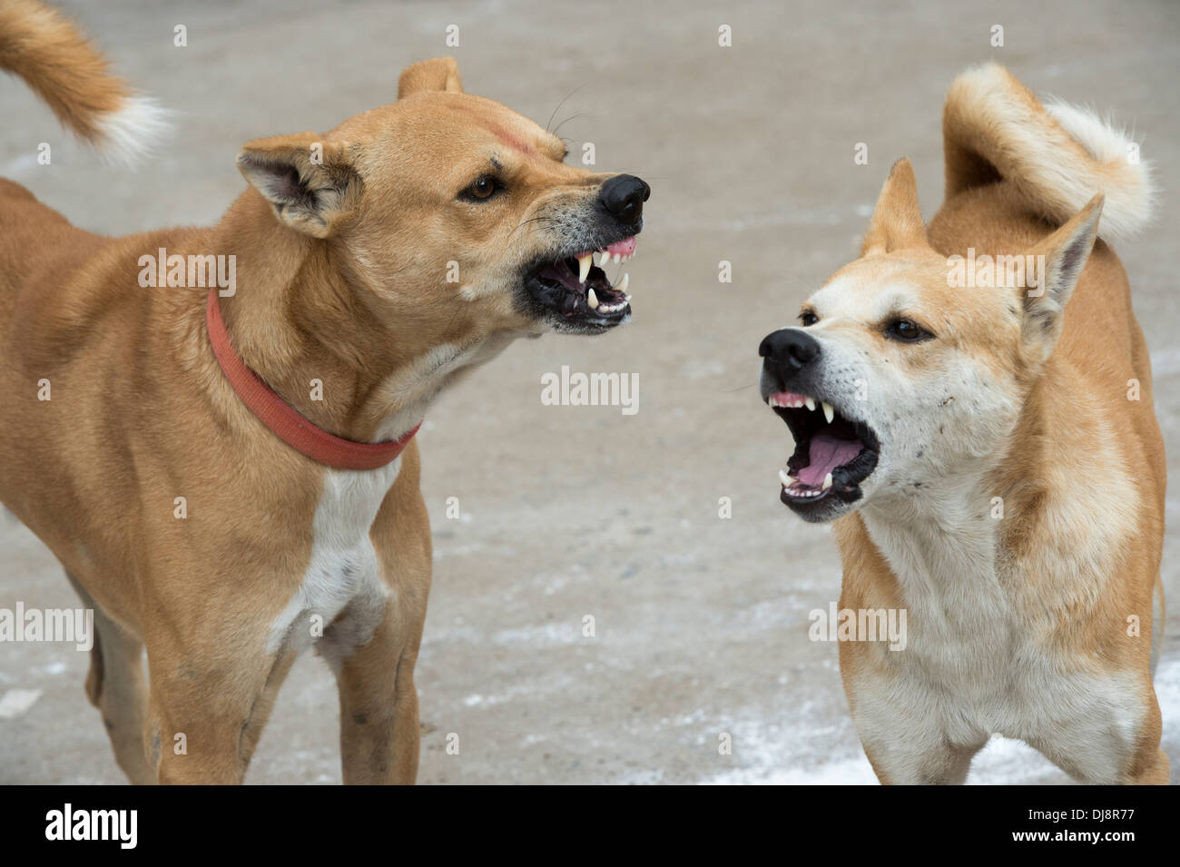 Indian stray dogs growling and snarling at each other. India - Stock Image