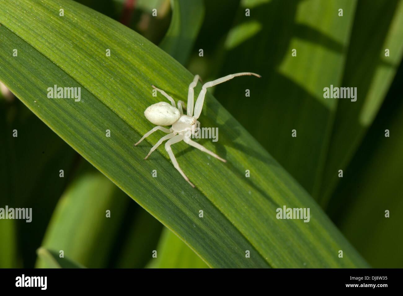 A White Crab Spider Basks In The Sun In A Devon Uk Garden