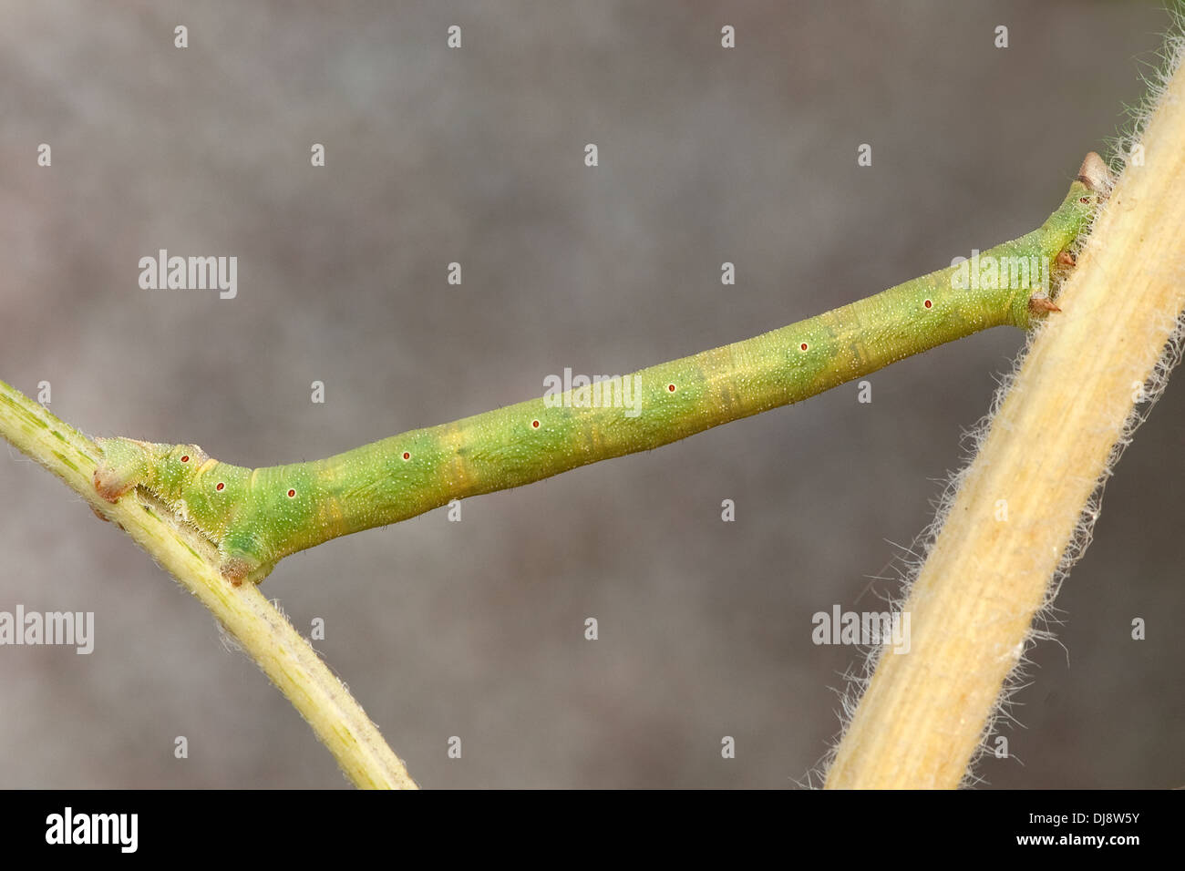 A looper caterpillar clings between two twigs in a Devon,UK. - Stock Image