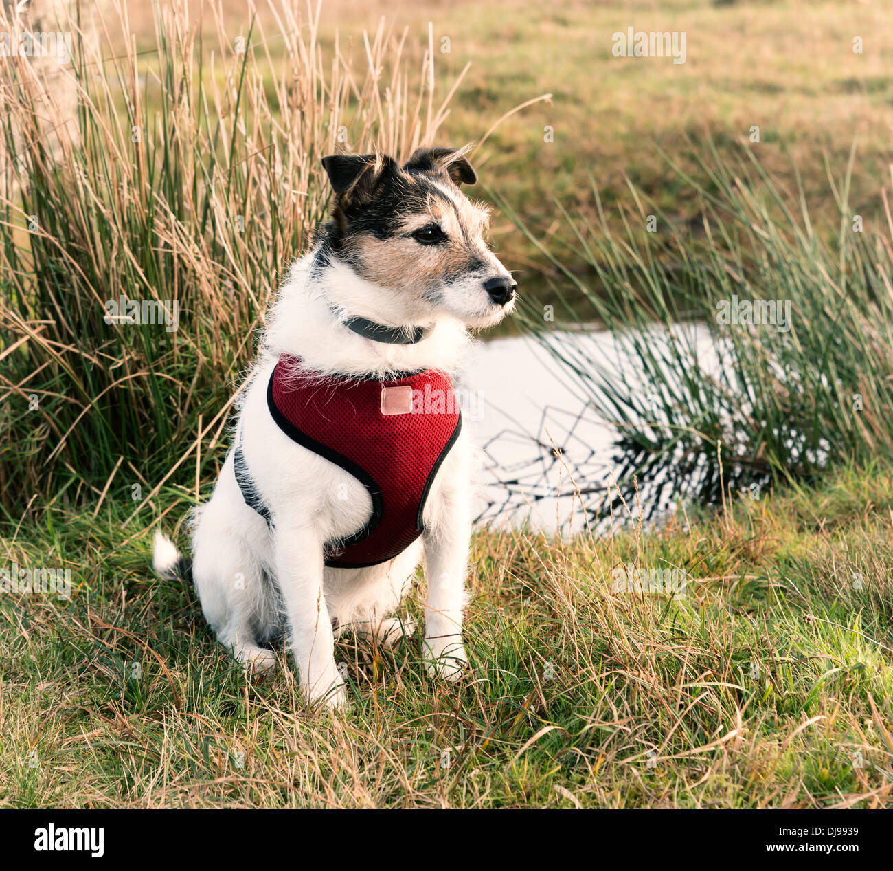 Working Jack Russell Terrier wearing a red harness - Stock Image