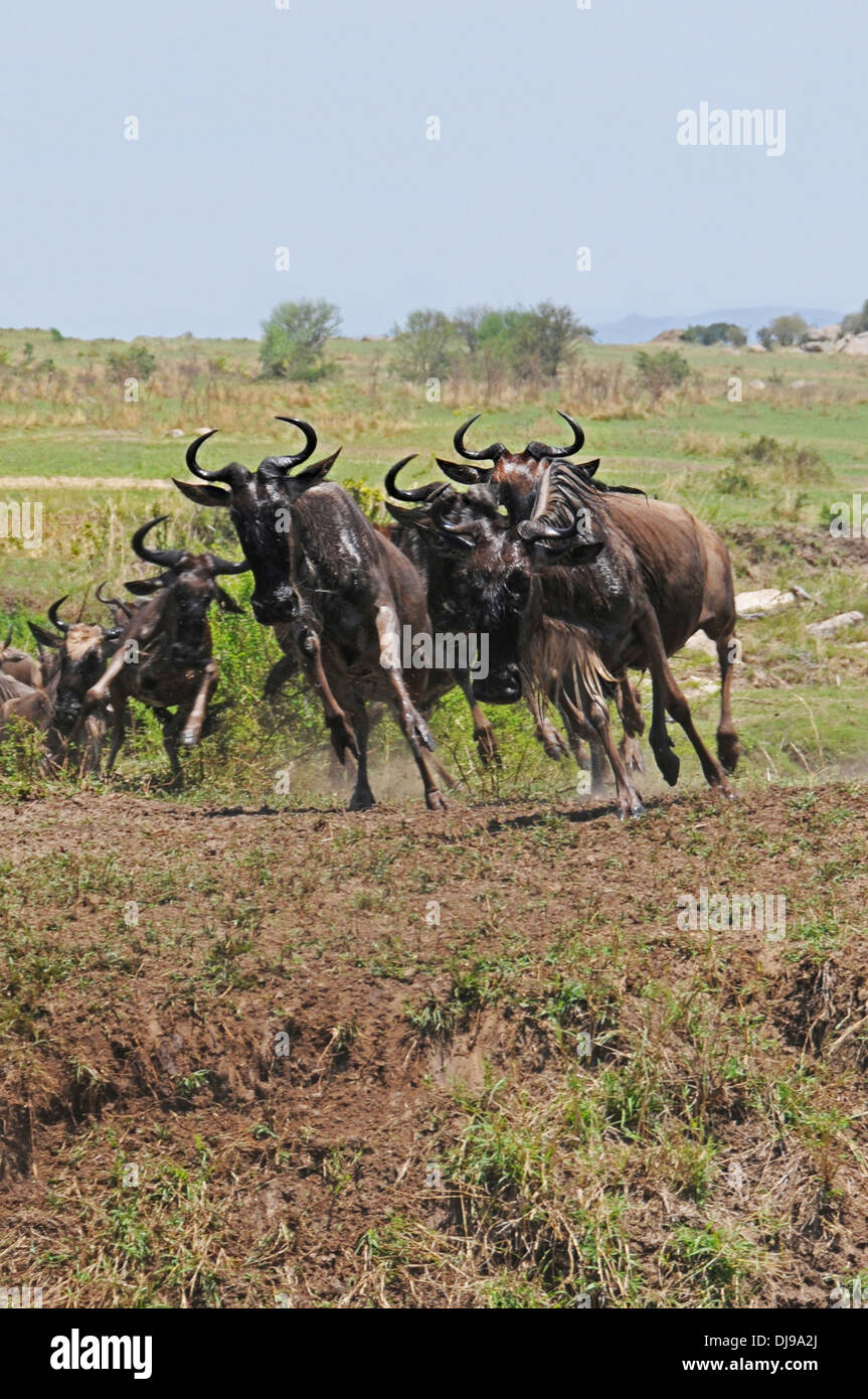 Wildebeest stampede during annual migration, Serengeti National Park, Tanzania, East Africa - Stock Image