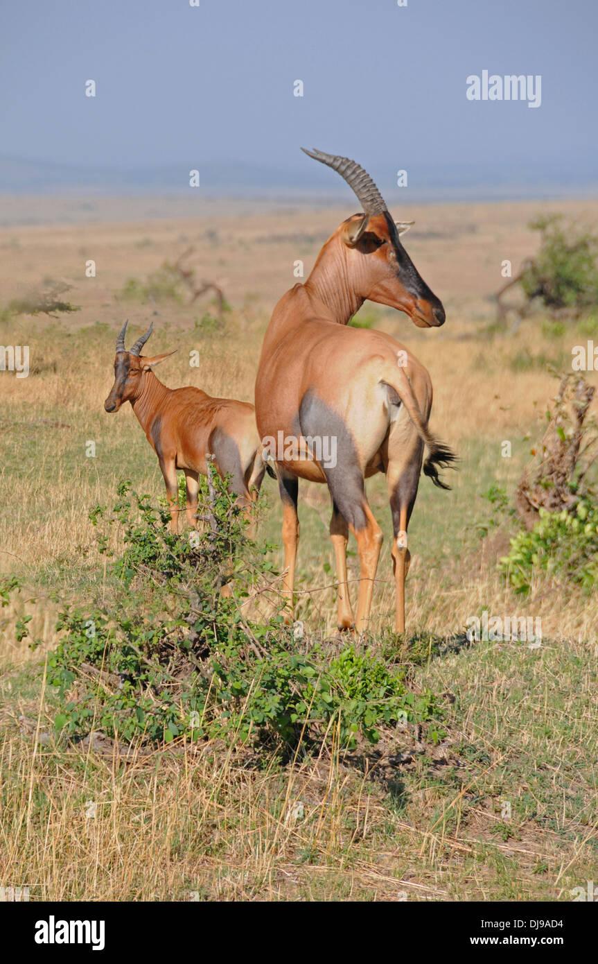 Topi (Damaliscus Lunatus Topi) Masai Mara National Reserve, Kenya, East Africa - Stock Image