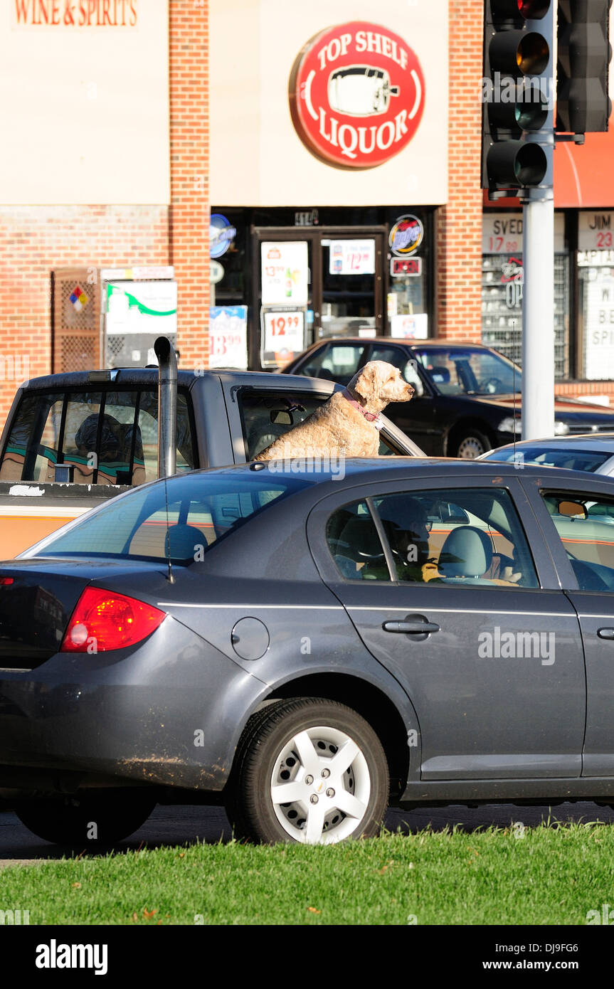 Dog riding in truck window. - Stock Image
