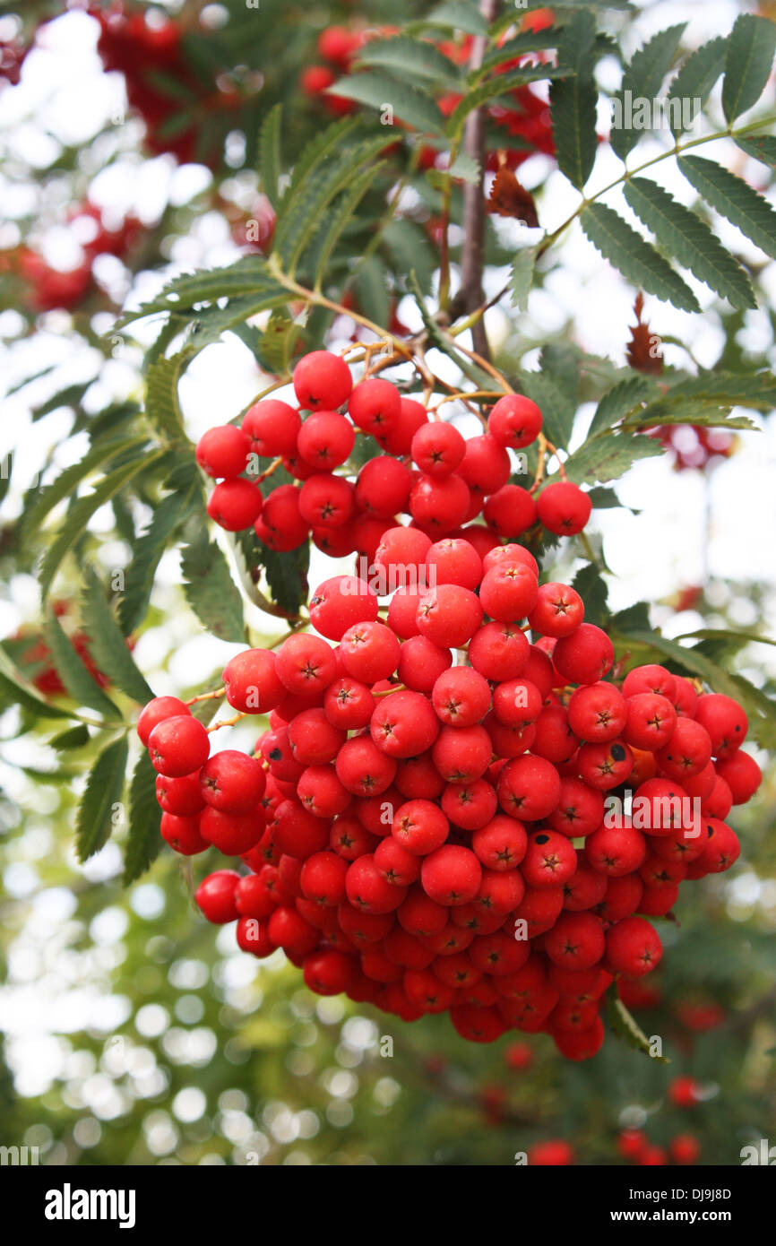 Red wild berries and leaves in autumn season Stock Photo