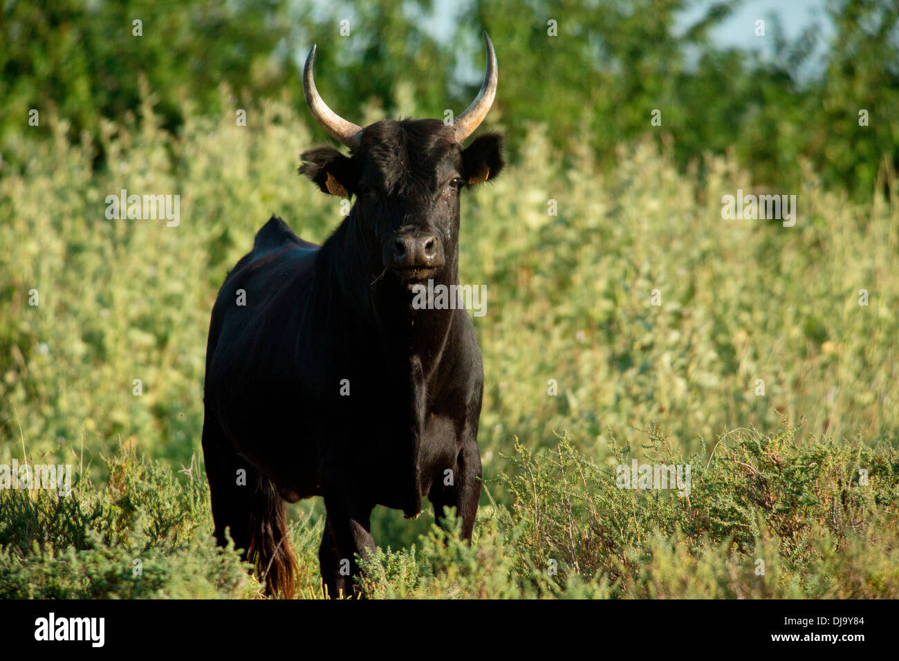 Camargue Cattle, France - Stock Image