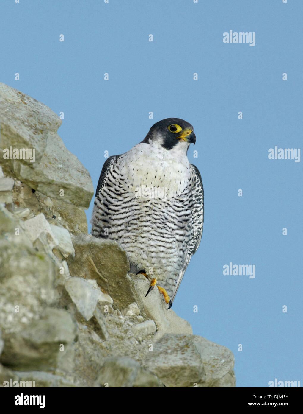 Peregrine Falco peregrinus - Stock Image