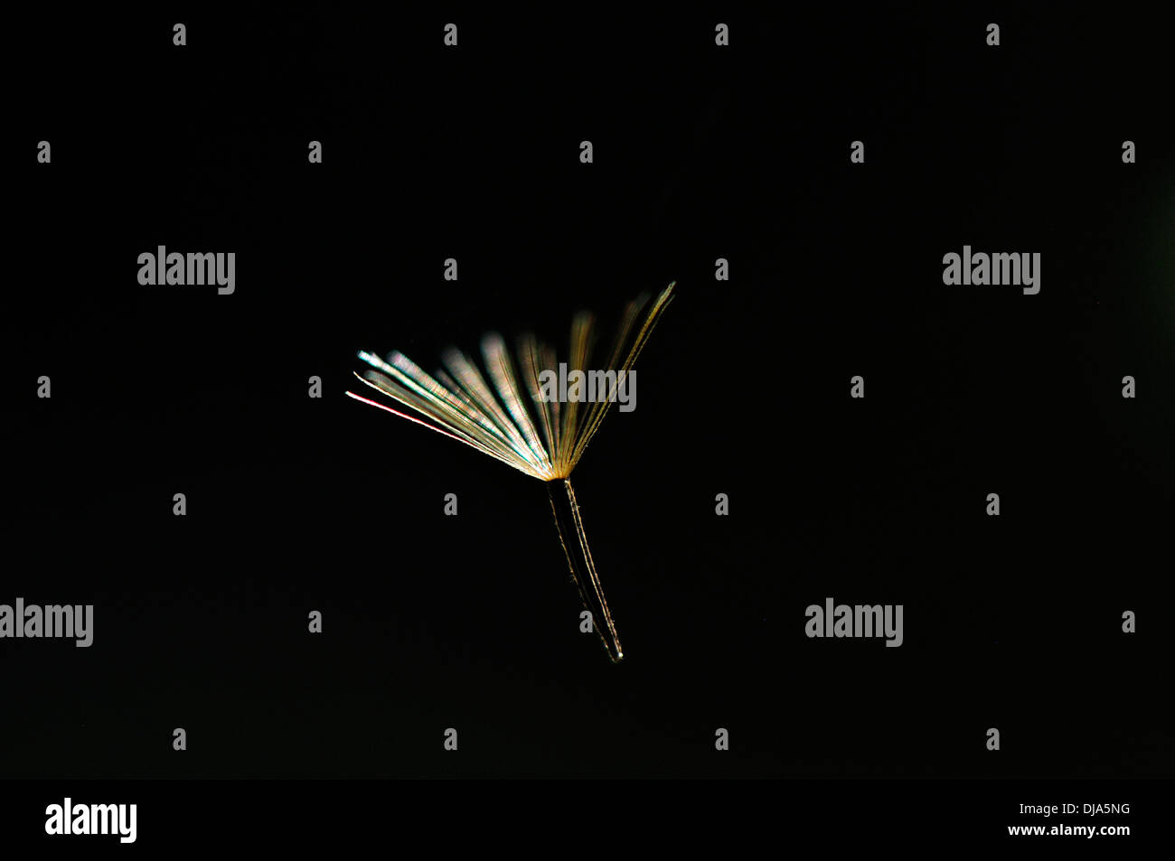 Jewel -  A dandelion floret hanging on invincible strand of spider web - Stock Image