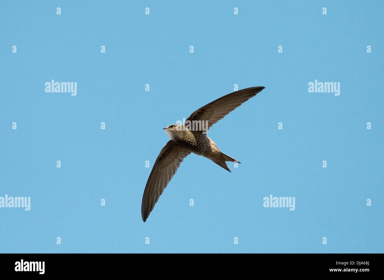 Pallid Swift - Apus pallidus - Stock Image