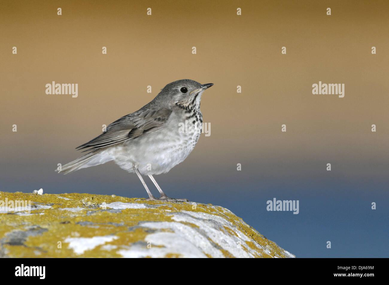 Grey-cheeked Thrush - Catharus minimus - Stock Image