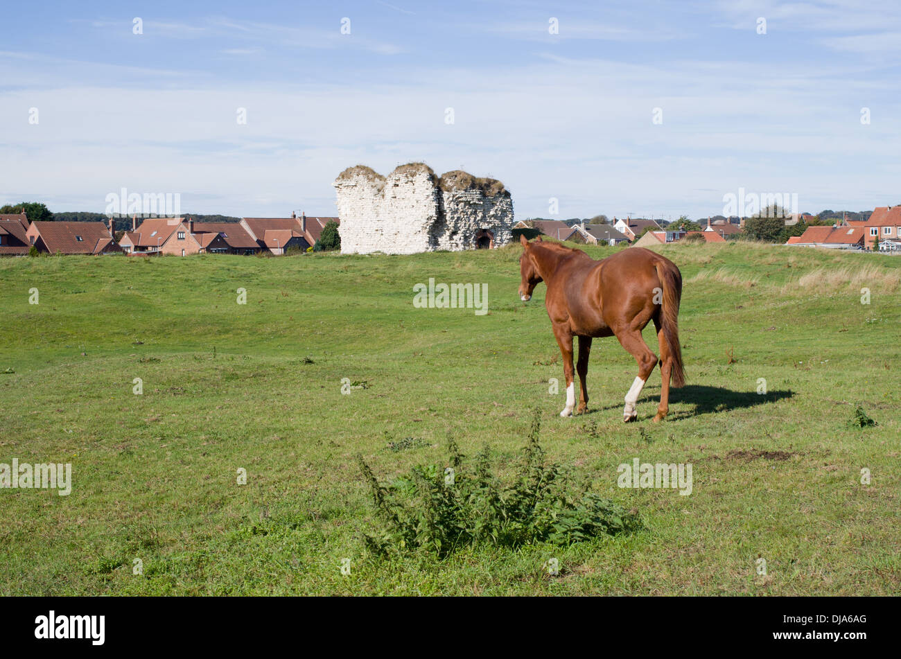 A brown horse walks across a meadow Eat Yorkshire Uk - Stock Image