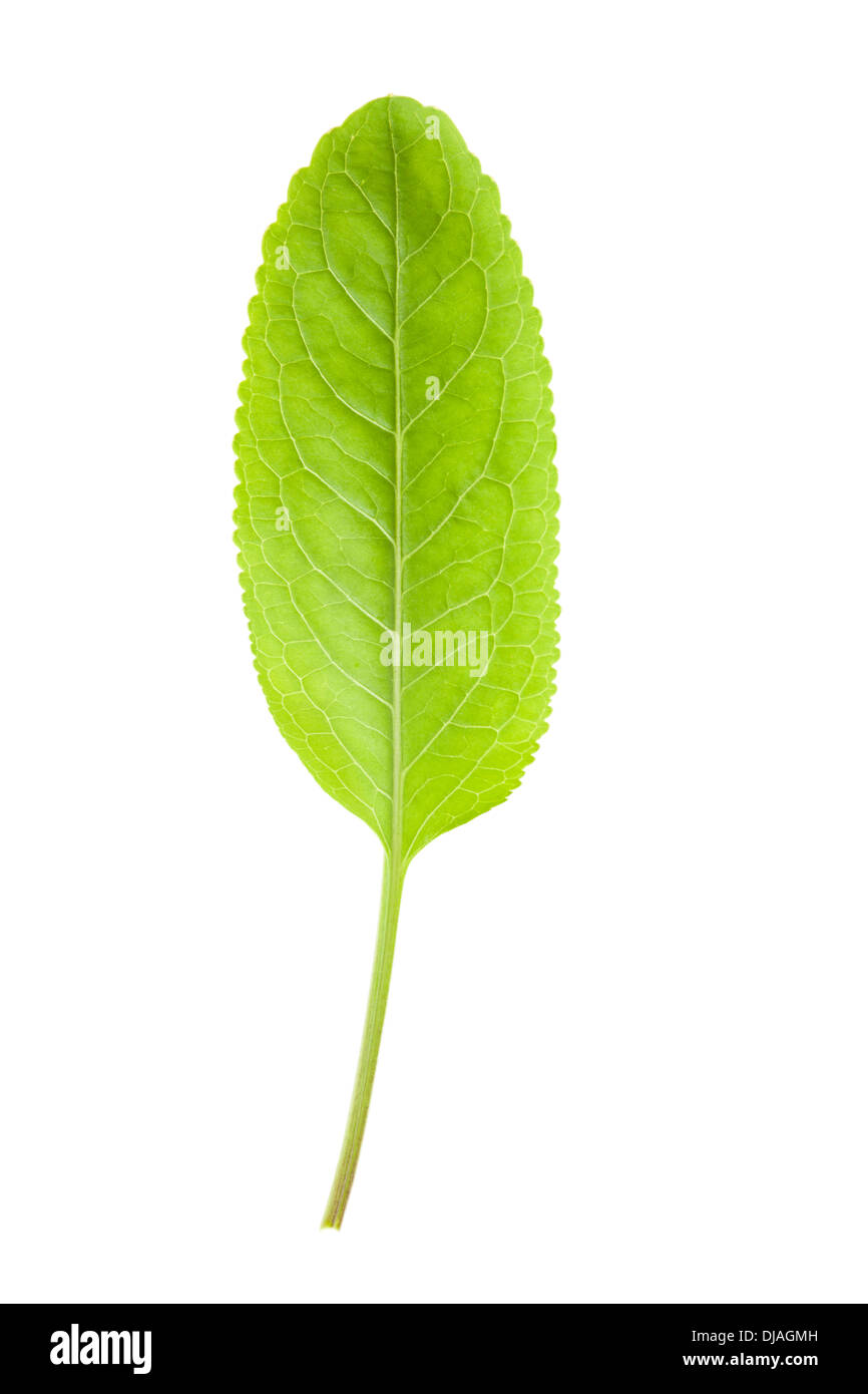 Green Horseradish Leaf isolated on white background with shallow depth of field - Stock Image