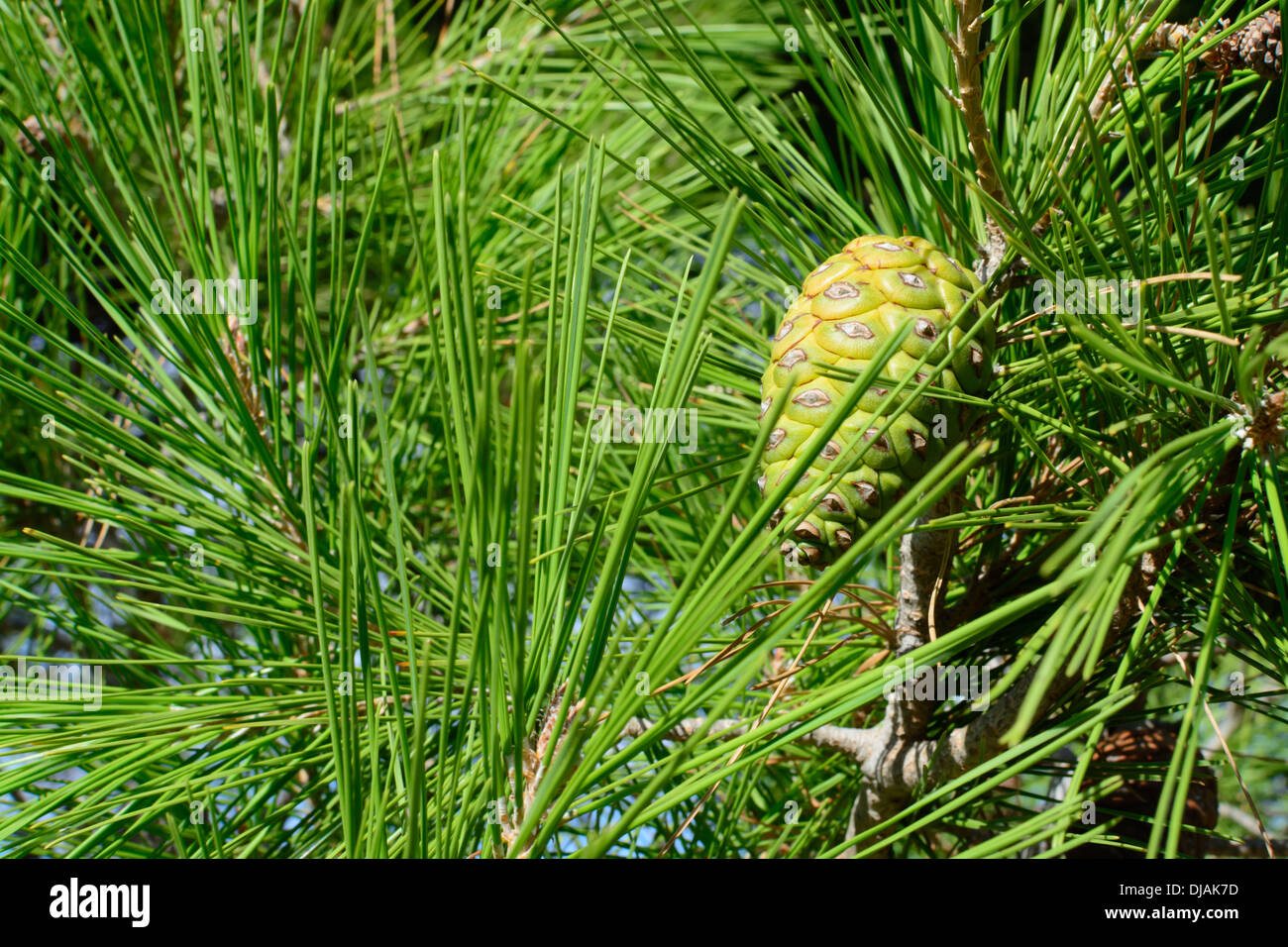 Aleppo pine closeup Pinus halepensis with copy space. - Stock Image