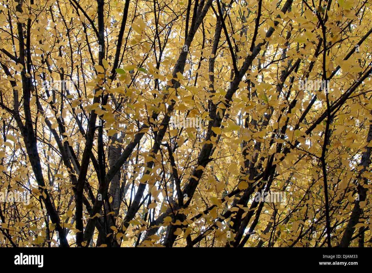 Hornbeam tree (Carpinus betulus) in autumn, Jephson Gardens, Leamington Spa, UK - Stock Image