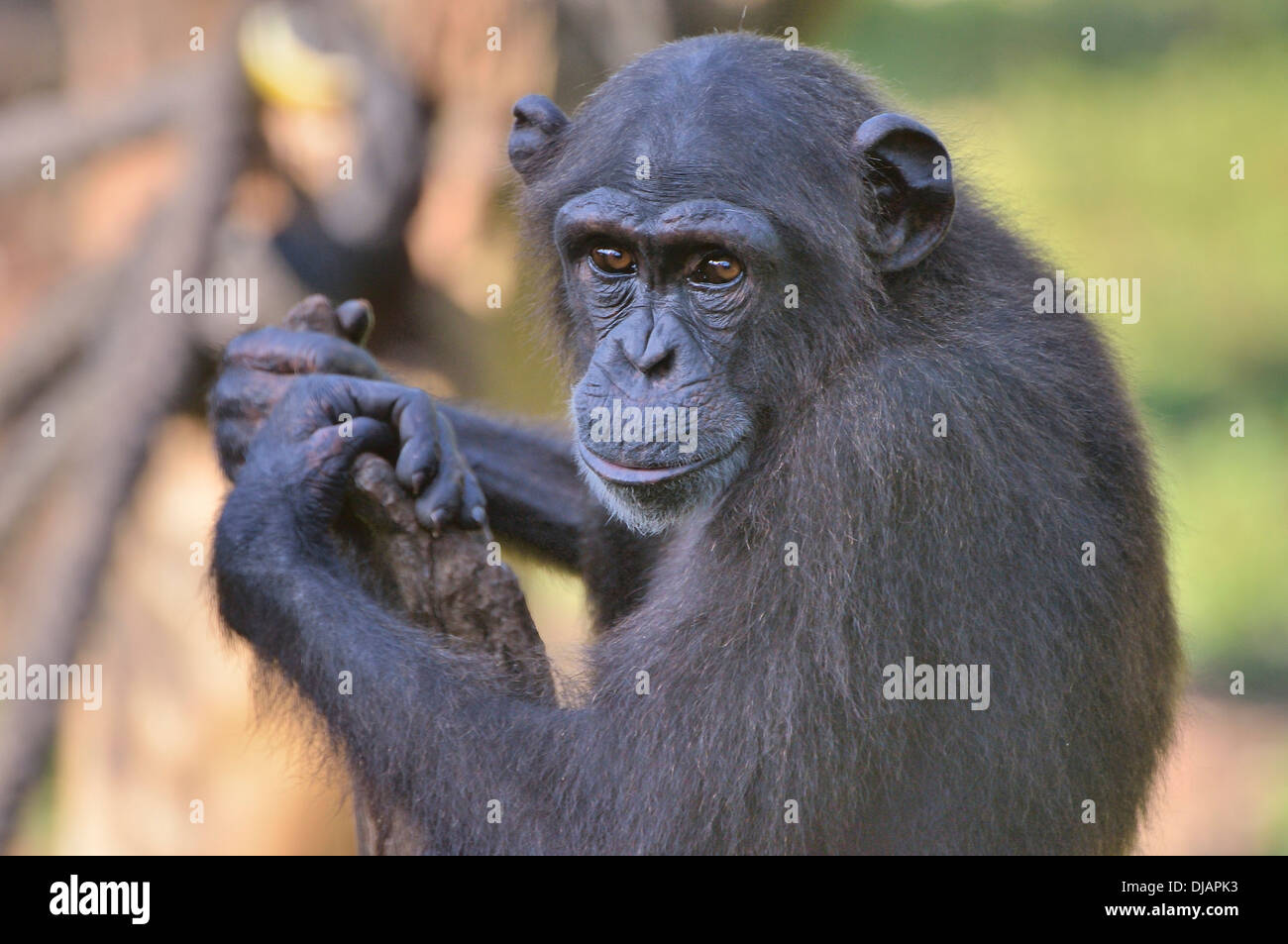 West African Chimpanzee (Pan troglodytes verus), Tacugama Chimpanzee Sanctuary, Province Western Area Tacugama, Sierra Leone Stock Photo