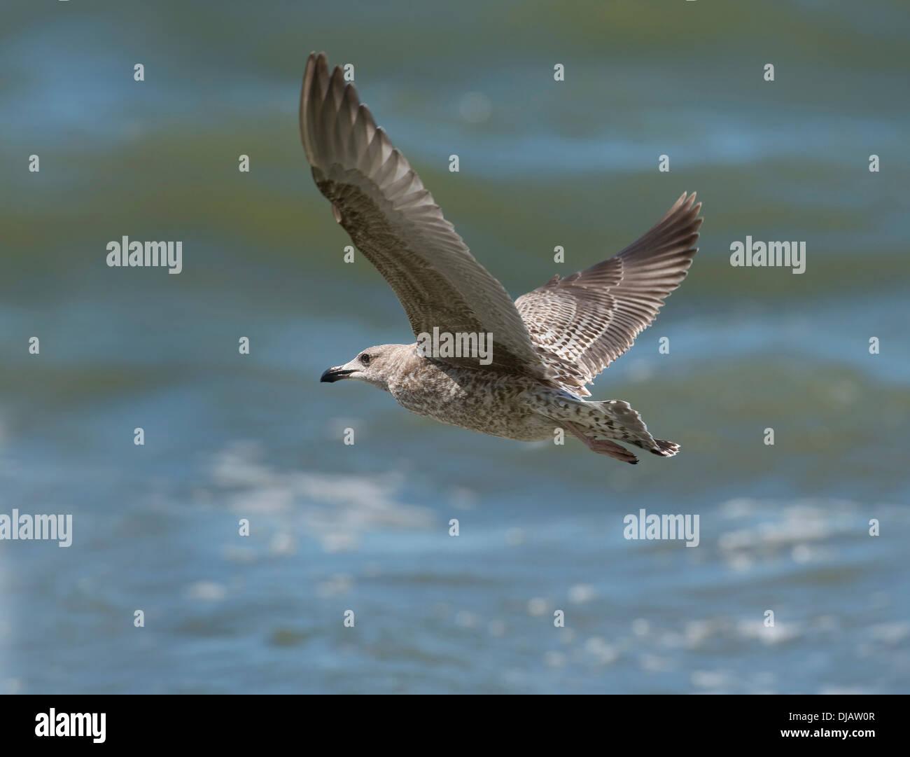 Herring Gull (Larus argentatus) in flight, Mecklenburg-Western Pomerania, Germany - Stock Image