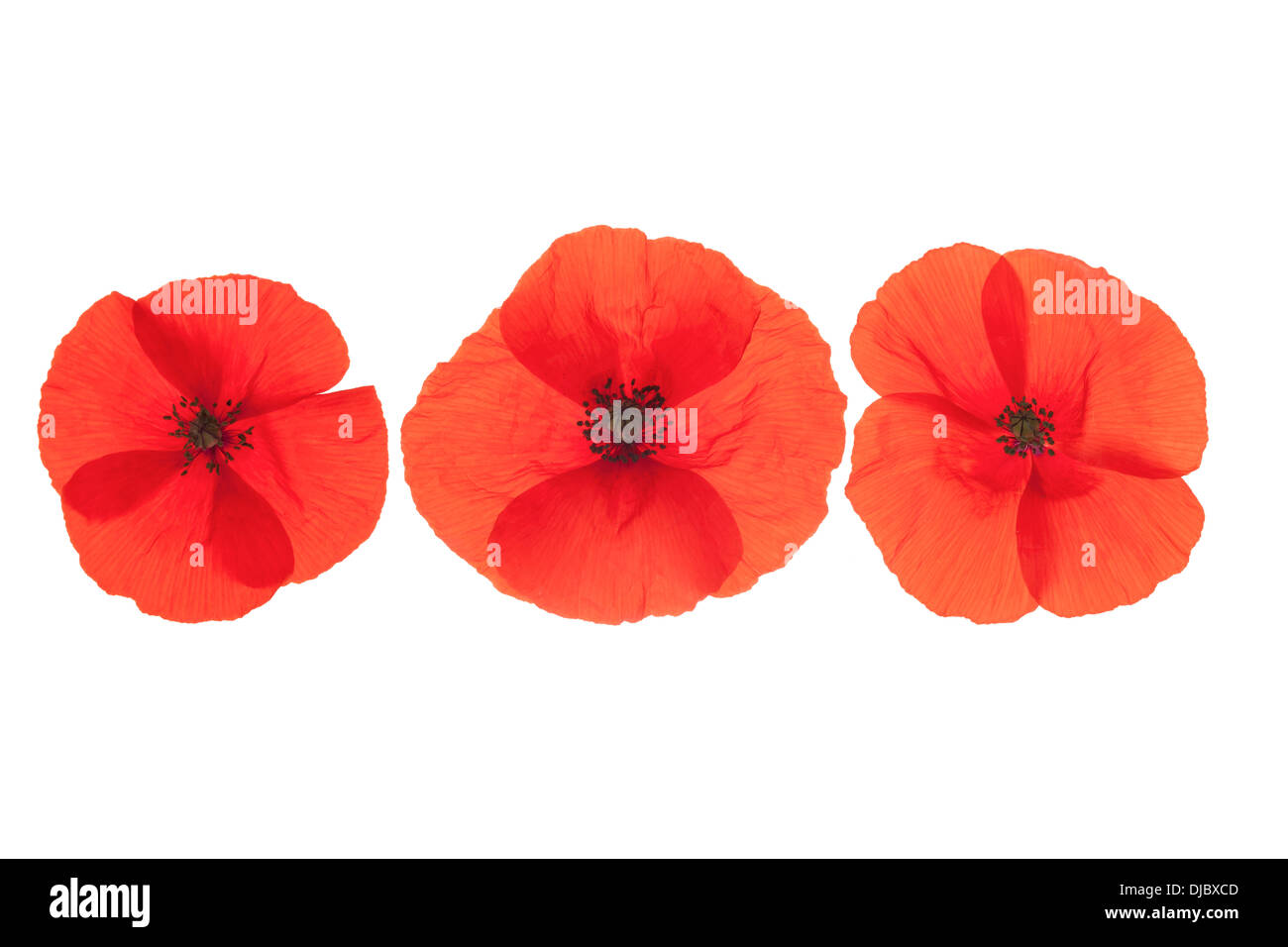 Three Red Corn Poppies Flowers arranged in a line isolated on white background with shallow depth of field. - Stock Image