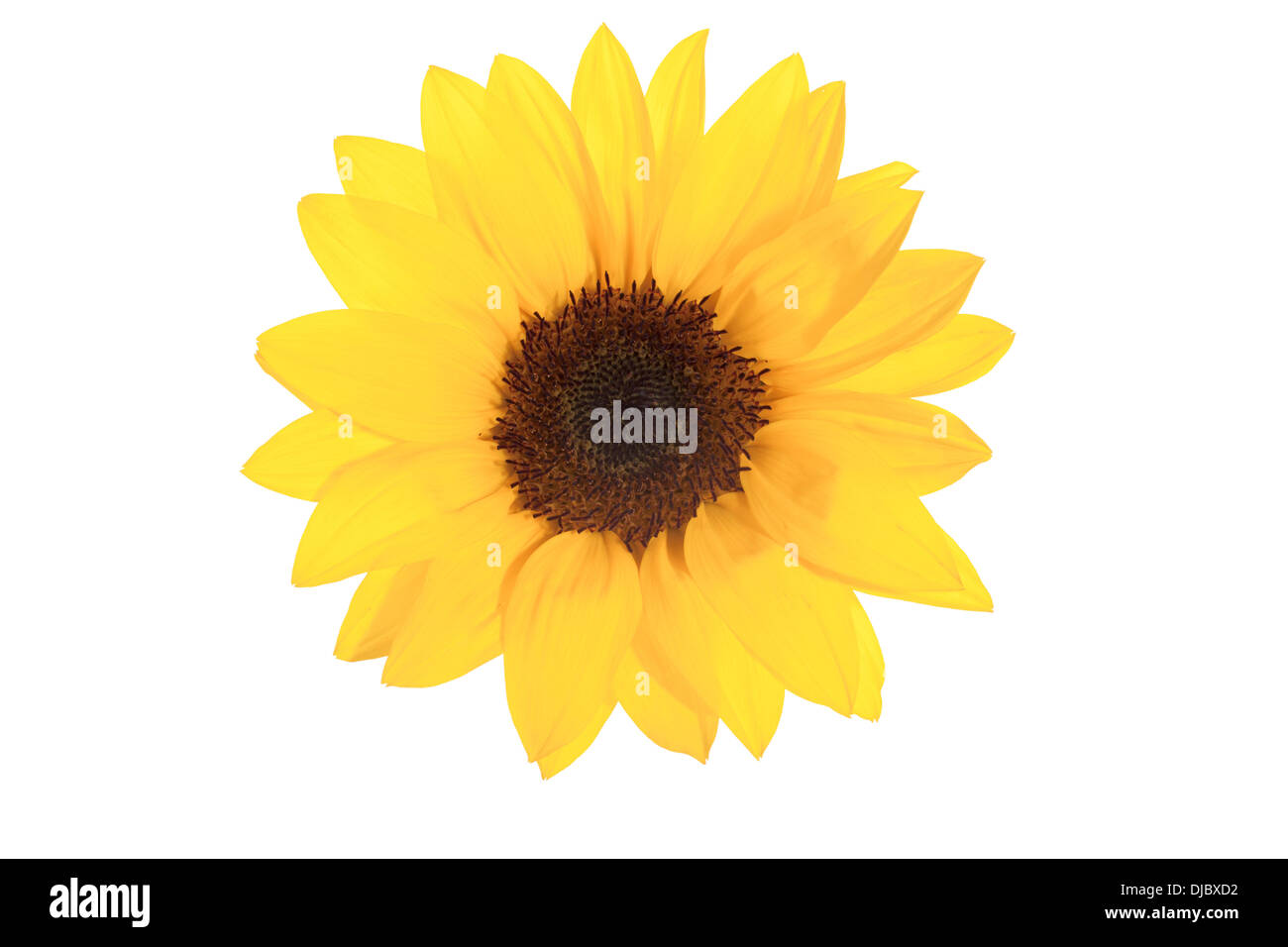 Yellow Sunflower isolated on White background with shallow depth of field. - Stock Image