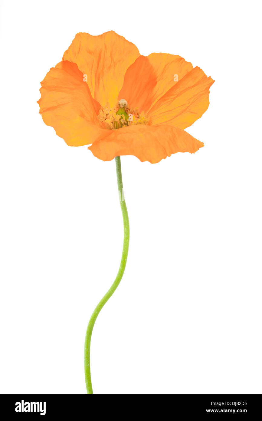 Welsh poppy flower isolated on white background with shallow depth of field. - Stock Image