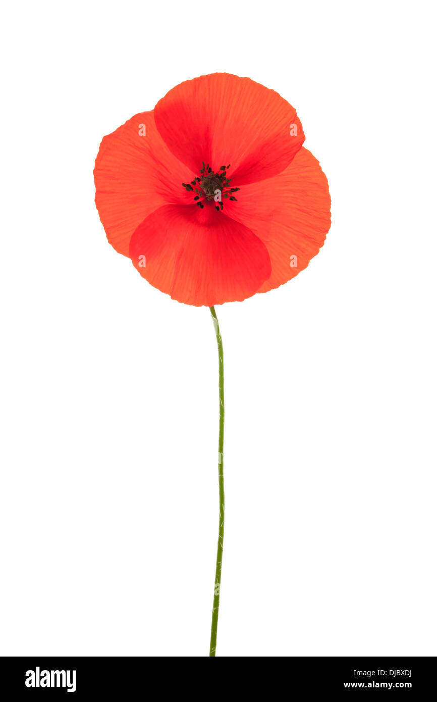 Single red corn poppy flower isolated on white background with shallow depth of field. - Stock Image