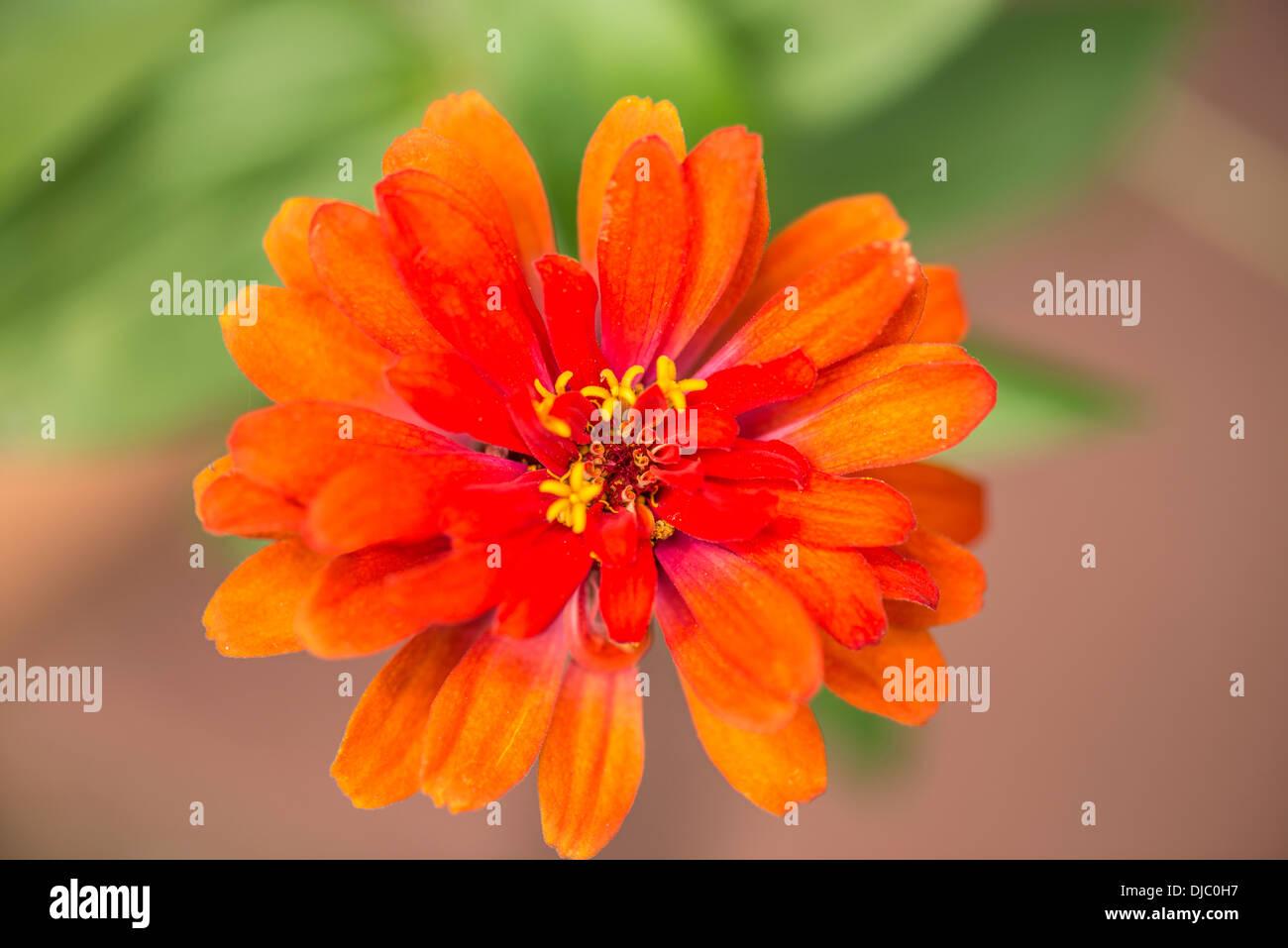 A single orange zinnia flower head, taken from above. Closeup. Asteraceae. USA. Oklahoma, USA. - Stock Image
