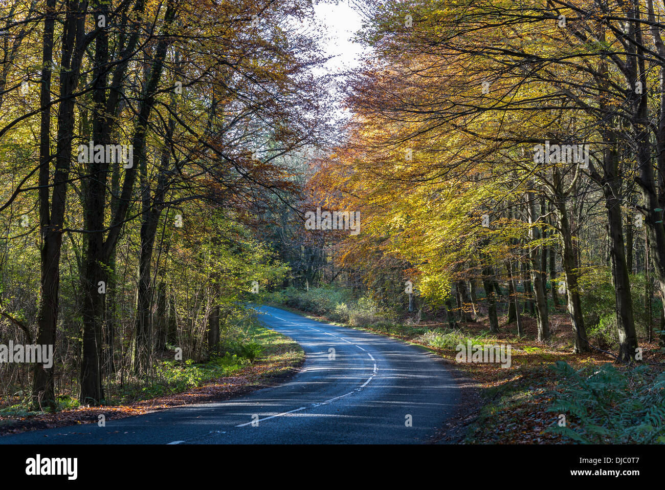 Bend in road in Tidenham Chase, Forest of Dean, Gloucestershire England UK with fallen leaves - Stock Image