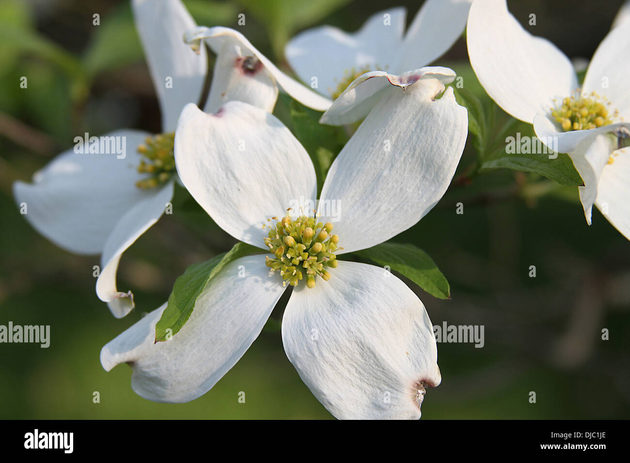 Close Up Of A Beautiful White Dogwood Flower With Yellow Pistols In