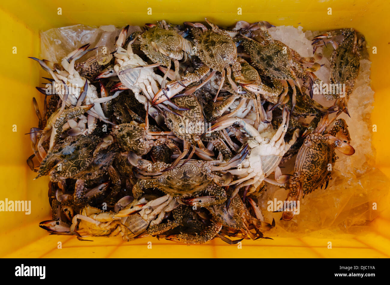 Fresh blue crabs on yellow container waiting to be put up for sale at Deira's Fish Market. Dubai, UAE. - Stock Image