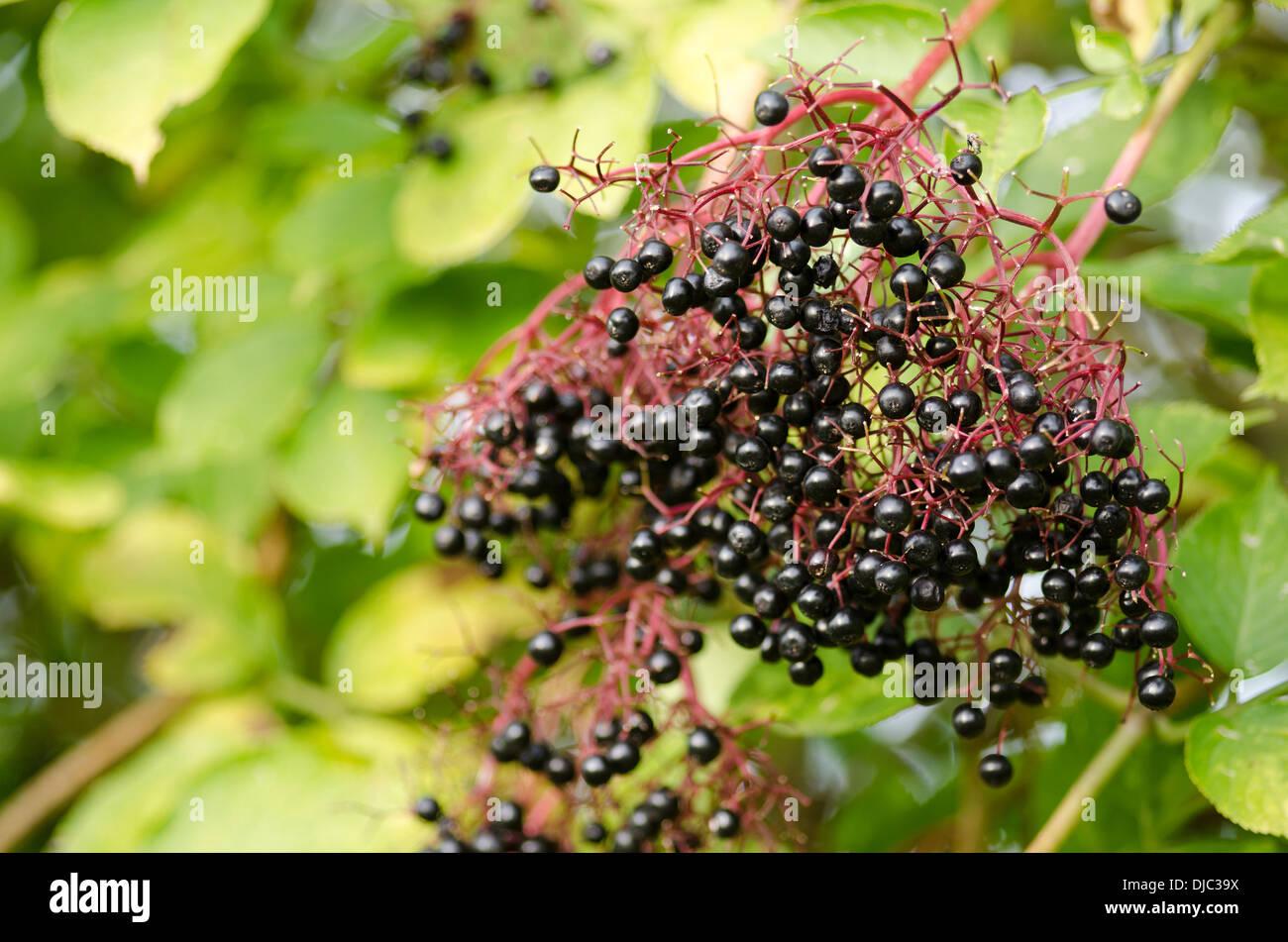 Twig of elderberry, Sambucus nigra, elder with ripe fruits - Stock Image